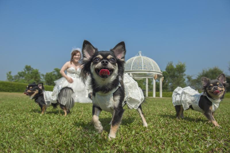 自助婚紗,心之芳庭,秋紅谷,美國隊長,狗狗婚紗